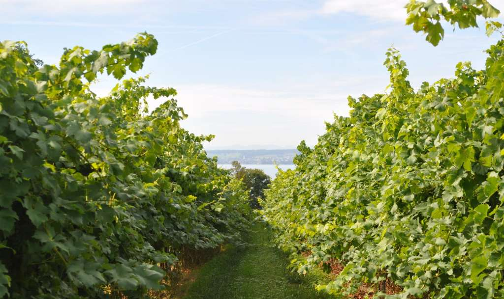 A view from a vineyard overlooking the lake Bodensee (Lake Constance)